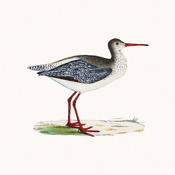 Spotted Redshank clipart #17, Download drawings