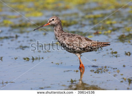 Spotted Redshank clipart #15, Download drawings