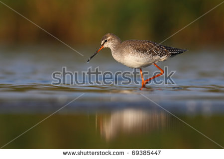 Spotted Redshank clipart #18, Download drawings