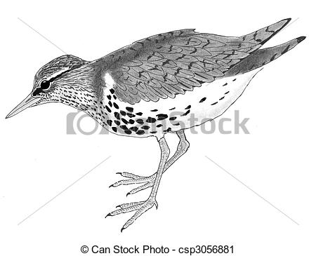 Spotted Sandpiper clipart #10, Download drawings