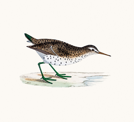 Spotted Sandpiper clipart #9, Download drawings
