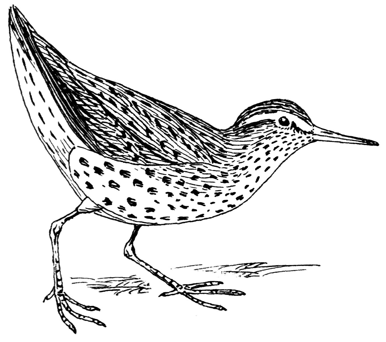 Spotted Sandpiper clipart #8, Download drawings