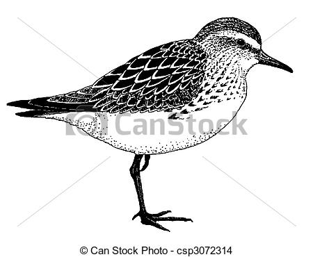 Spotted Sandpiper clipart #11, Download drawings