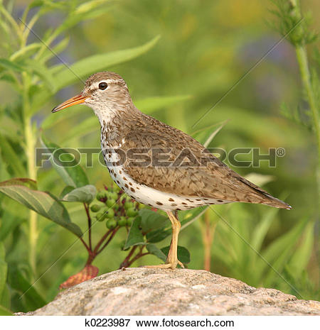 Spotted Sandpiper clipart #5, Download drawings