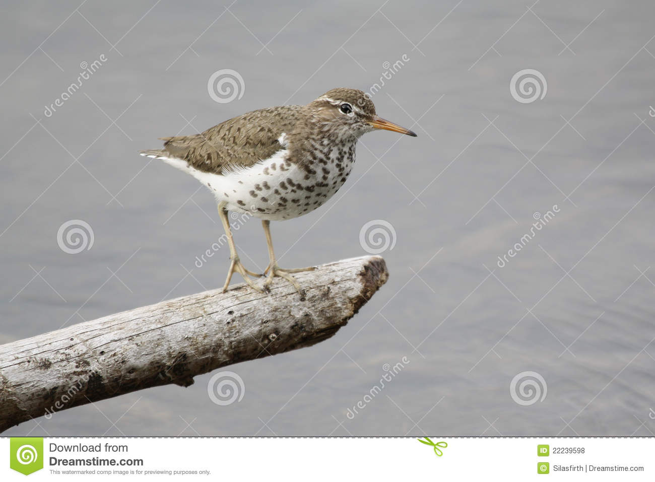 Spotted Sandpiper clipart #7, Download drawings