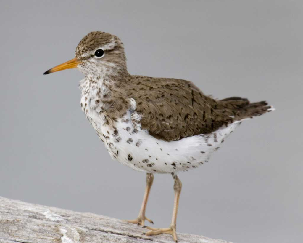 Spotted Sandpiper clipart #4, Download drawings