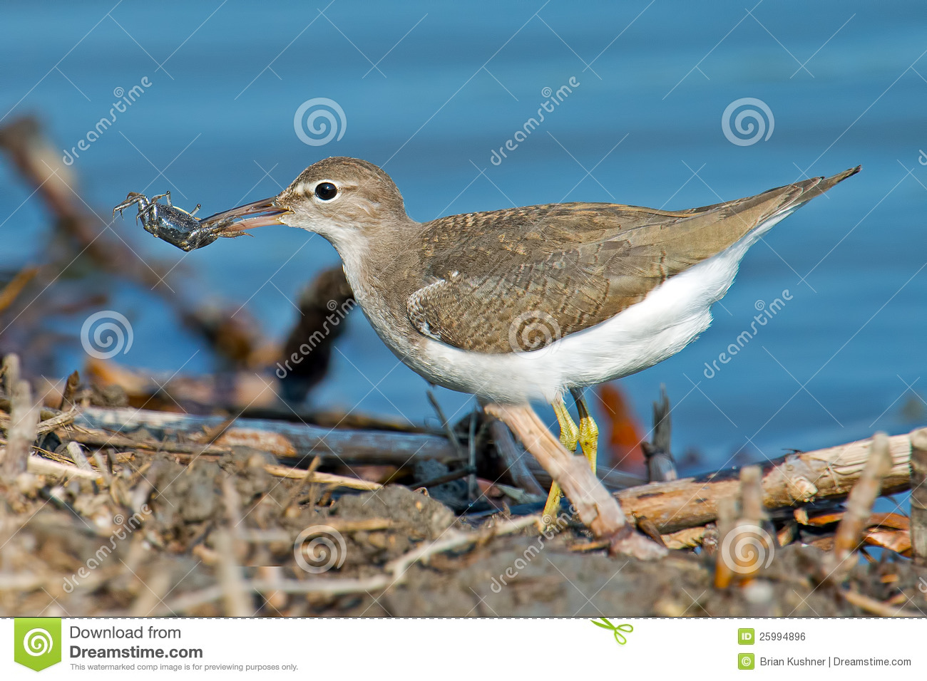 Spotted Sandpiper clipart #3, Download drawings