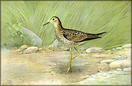 Spotted Sandpiper clipart #1, Download drawings
