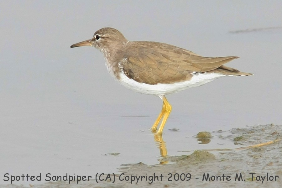 Spotted Sandpiper clipart #15, Download drawings
