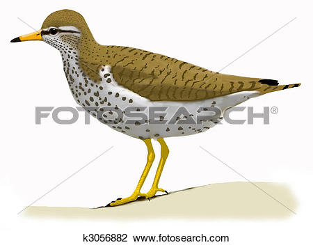 Spotted Sandpiper clipart #16, Download drawings