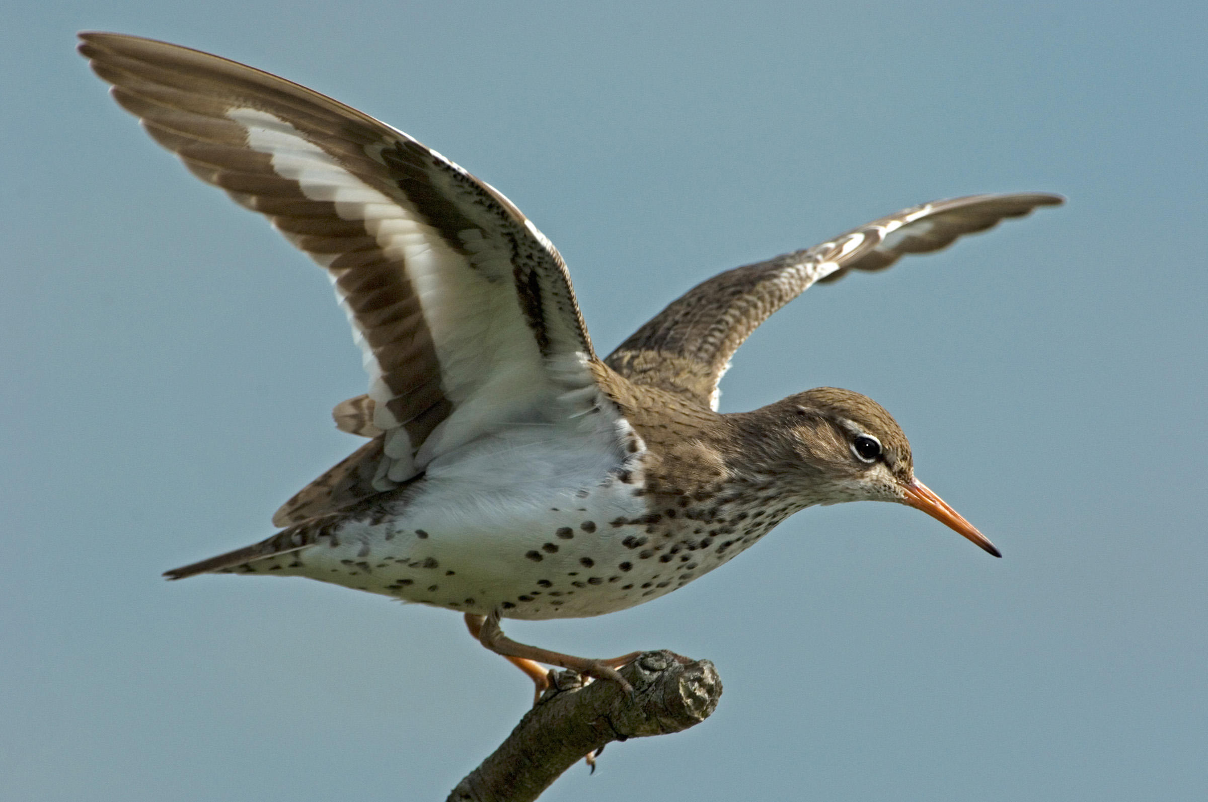 Spotted Sandpiper clipart #6, Download drawings