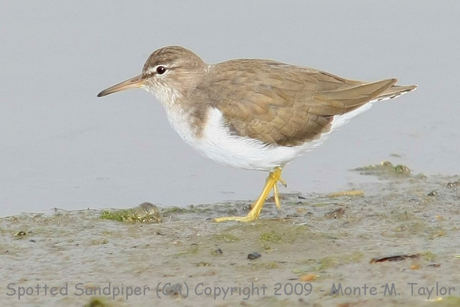 Spotted Sandpiper clipart #14, Download drawings