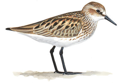 Spotted Sandpiper clipart #19, Download drawings