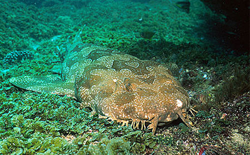 Spotted Wobbegong Shark clipart #4, Download drawings