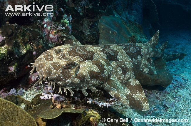 Spotted Wobbegong Shark clipart #5, Download drawings