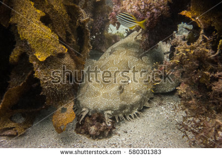 Spotted Wobbegong Shark clipart #15, Download drawings