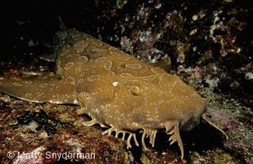 Spotted Wobbegong Shark clipart #19, Download drawings