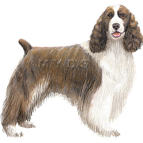 Springer Spaniel clipart #3, Download drawings