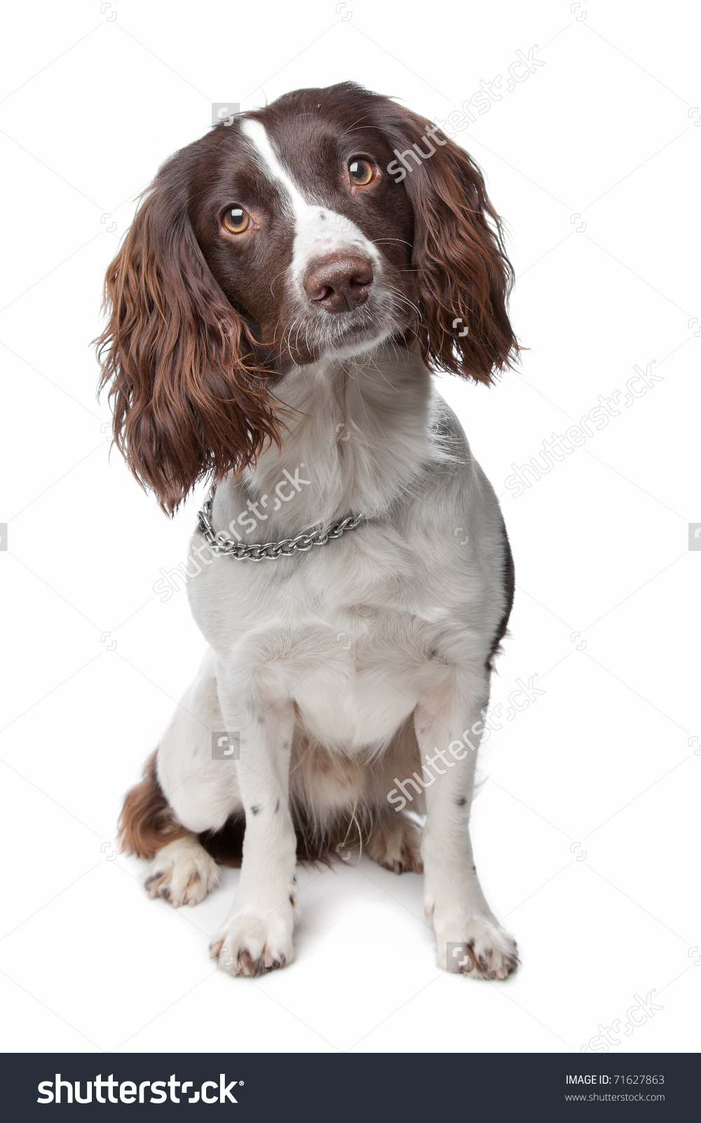 Springer Spaniel clipart #4, Download drawings