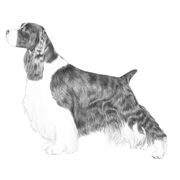 english springer spaniel coloring pages - photo#31
