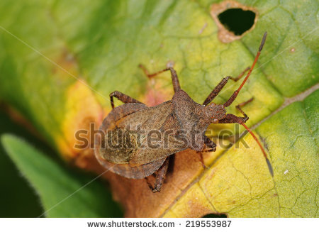 Squash Bug clipart #12, Download drawings