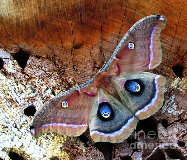 Squeaking Silk Moth clipart #13, Download drawings