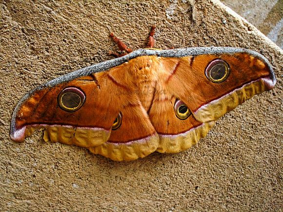 Squeaking Silk Moth clipart #11, Download drawings