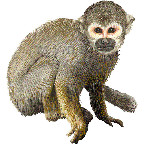 Squirrel Monkey clipart #2, Download drawings