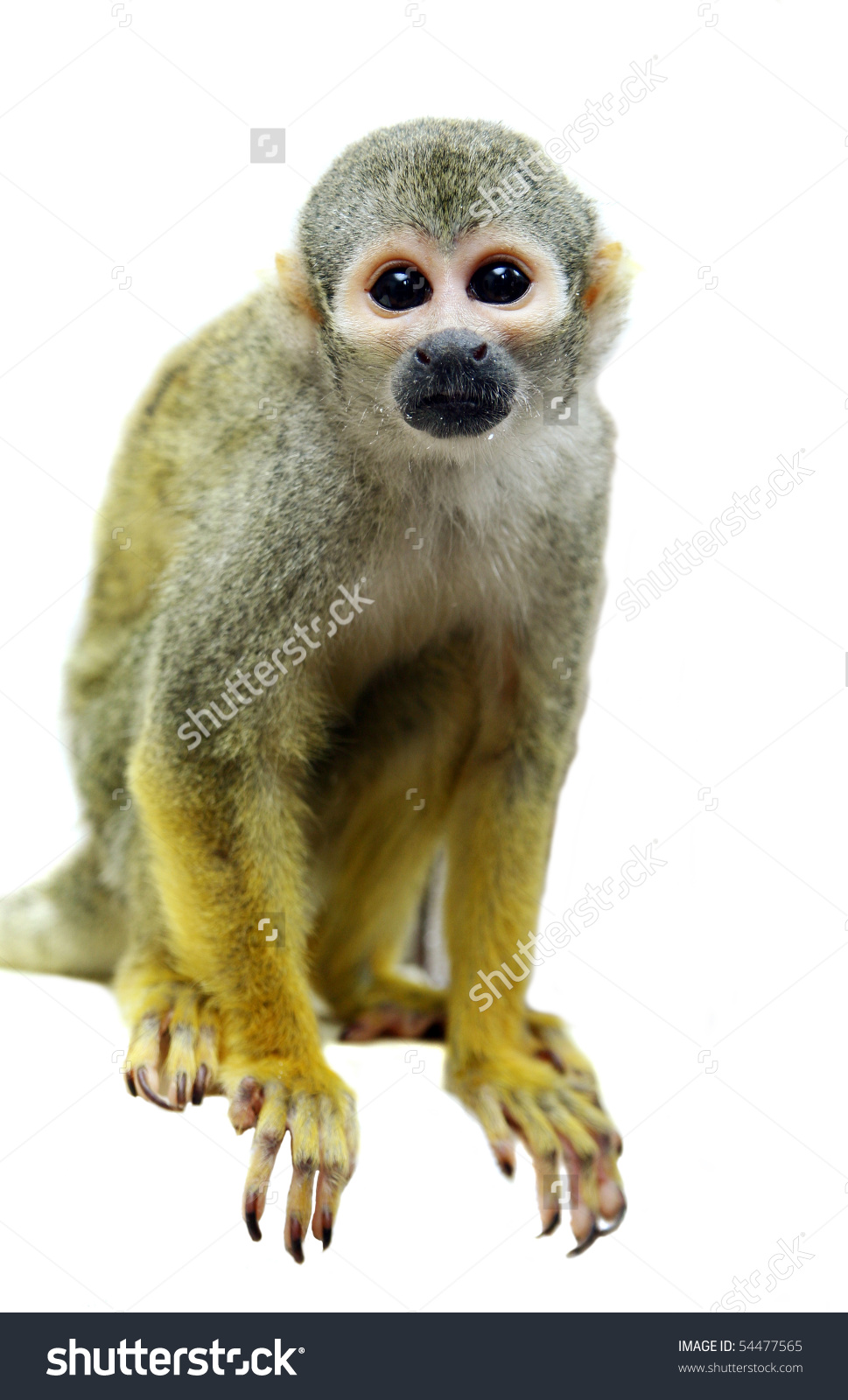 Squirrel Monkey clipart #8, Download drawings
