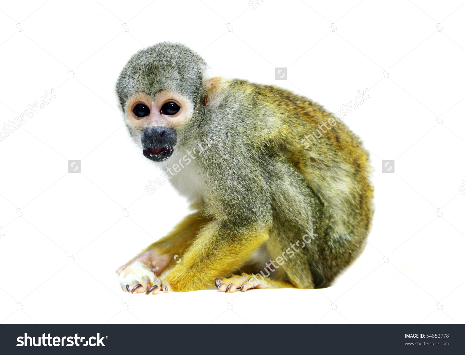 Squirrel Monkey clipart #3, Download drawings