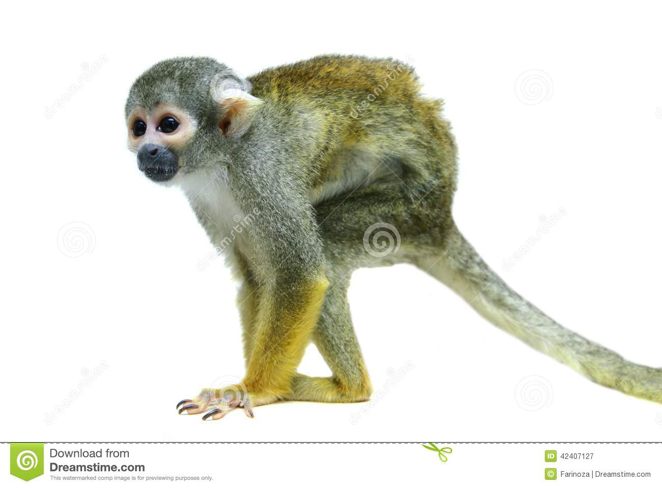 Squirrel Monkey clipart #18, Download drawings