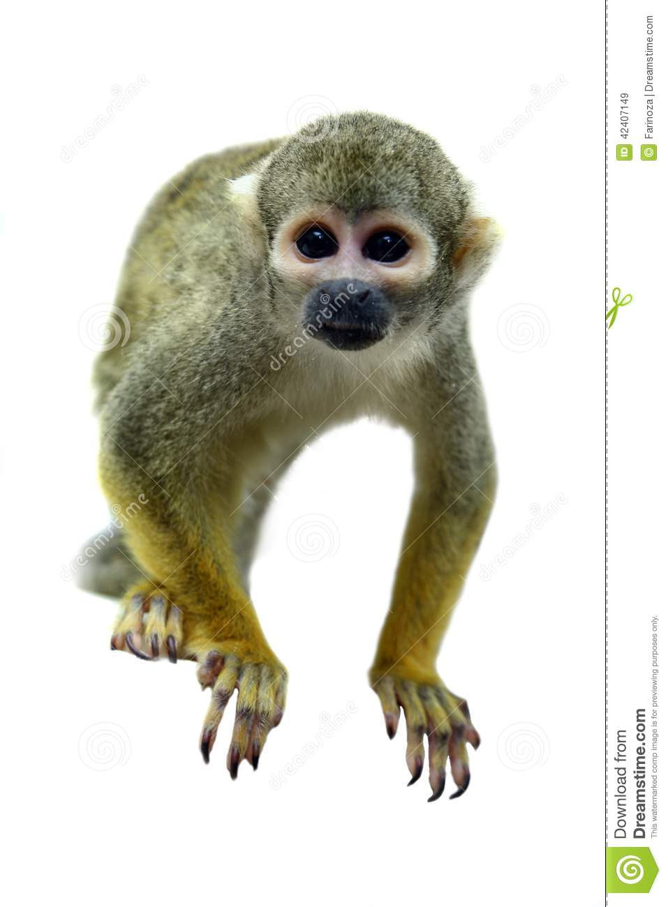 Squirrel Monkey clipart #16, Download drawings