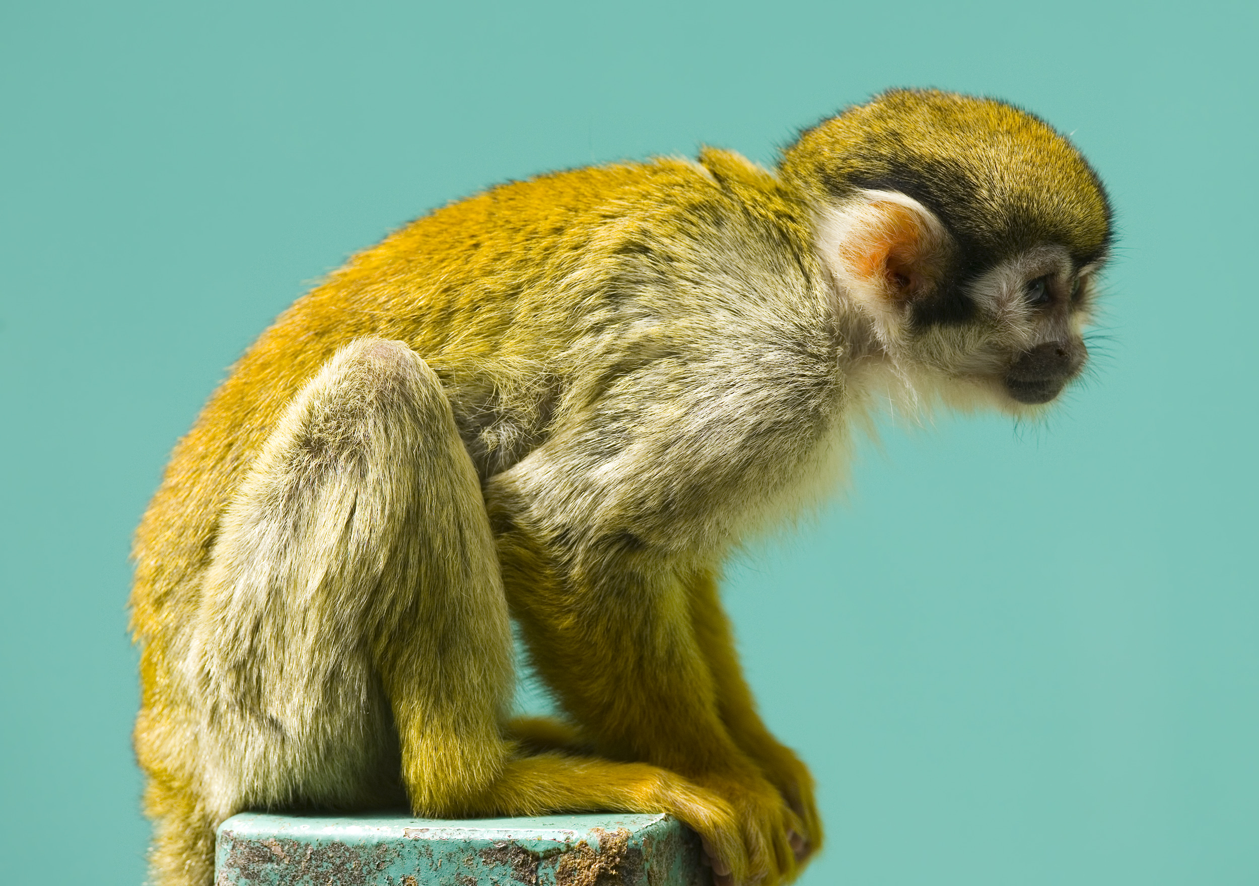 Squirrel Monkey svg #1, Download drawings