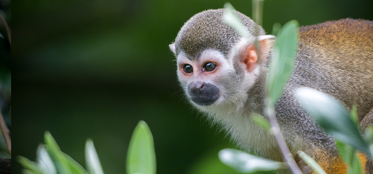 Squirrel Monkey svg #7, Download drawings