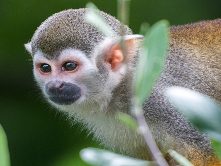 Squirrel Monkey svg #8, Download drawings