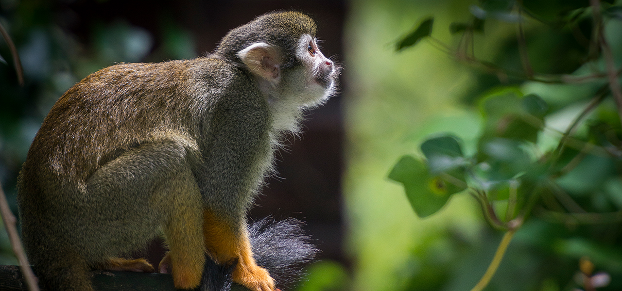 Squirrel Monkey svg #2, Download drawings