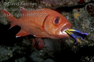 Squirrelfish clipart #6, Download drawings