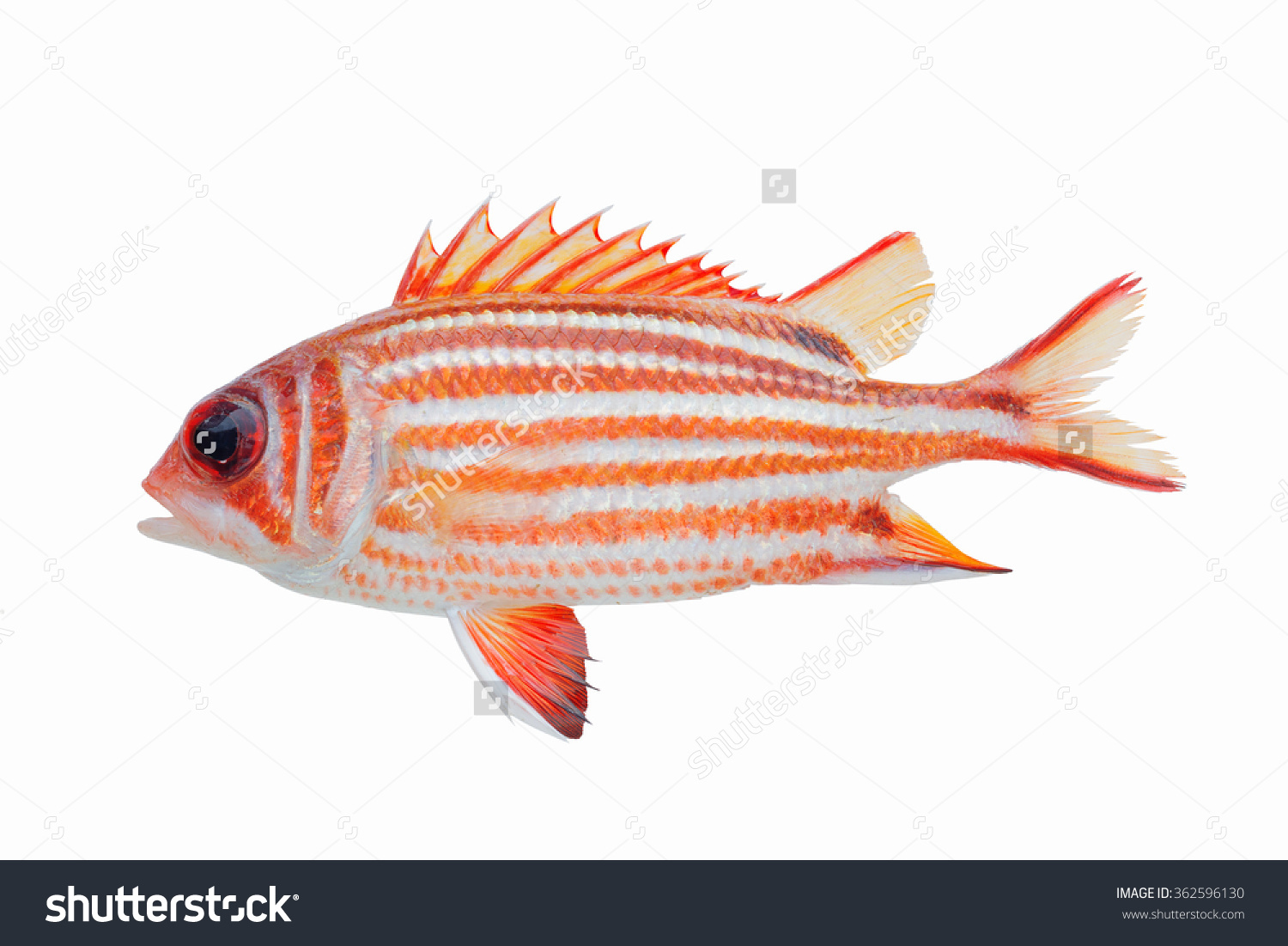 Squirrelfish clipart #2, Download drawings
