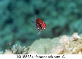 Squirrelfish clipart #11, Download drawings