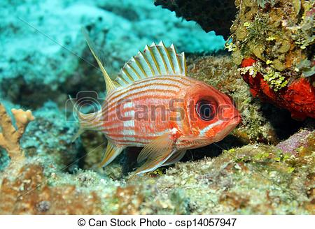 Squirrelfish clipart #8, Download drawings