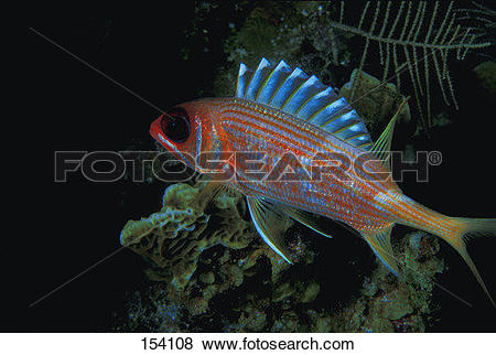 Squirrelfish clipart #20, Download drawings