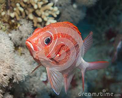 Squirrelfish clipart #1, Download drawings