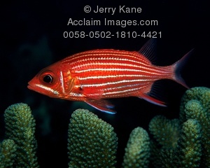 Squirrelfish clipart #10, Download drawings