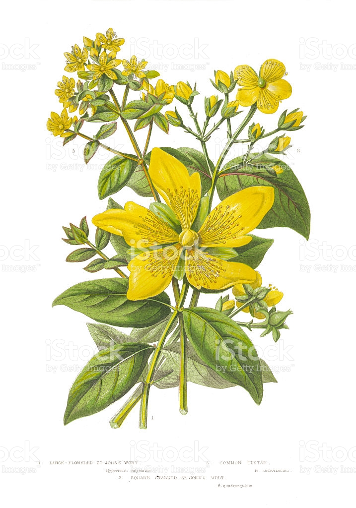 St John's Wort clipart #14, Download drawings