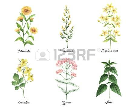 St John's Wort clipart #12, Download drawings