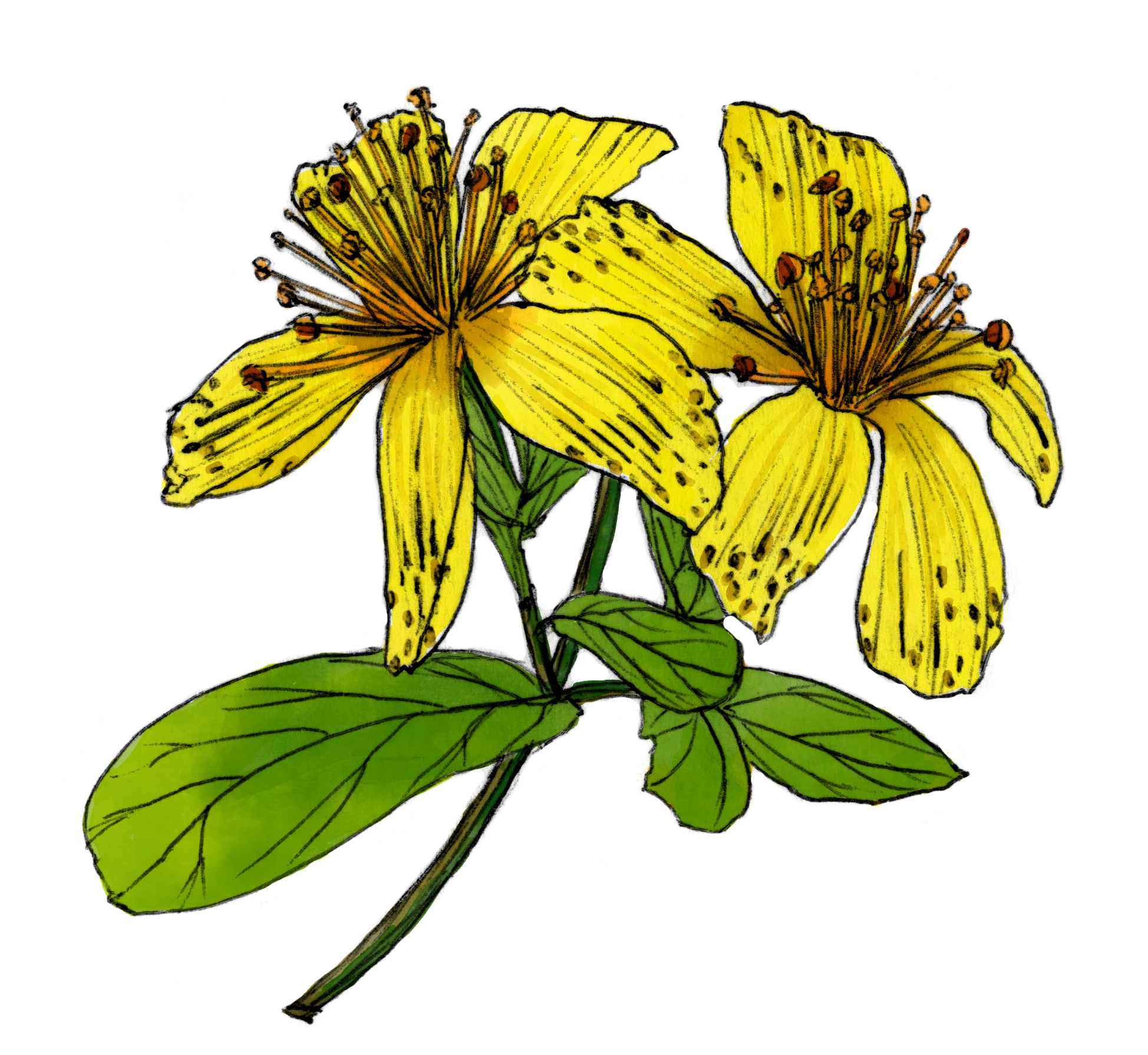 St John's Wort clipart #11, Download drawings