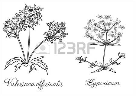 St John's Wort clipart #15, Download drawings