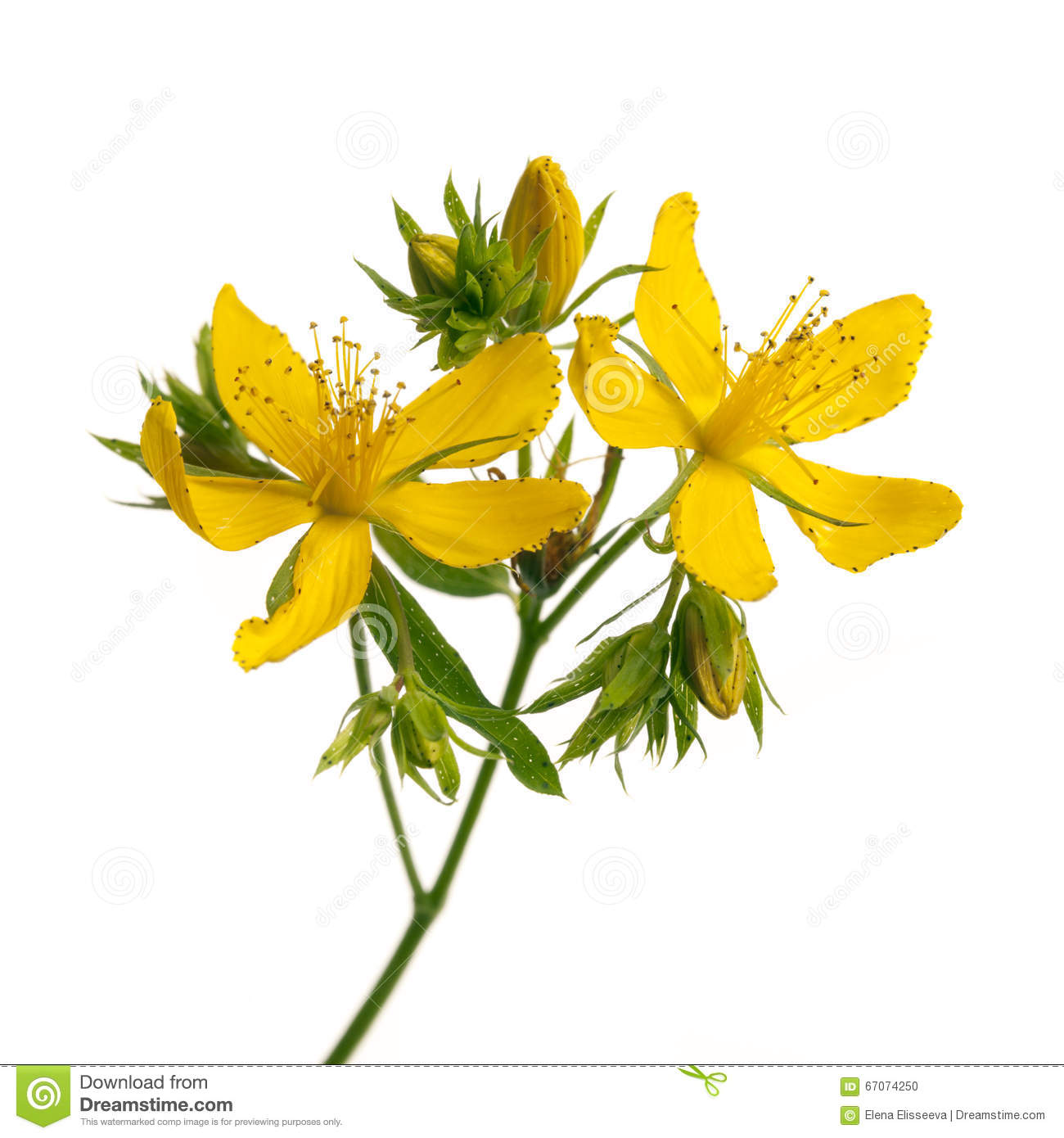 St John's Wort clipart #3, Download drawings