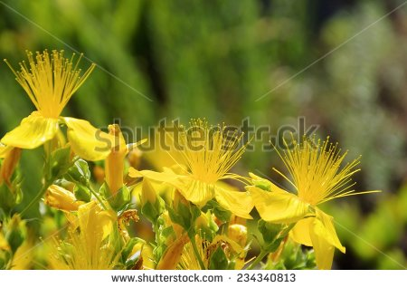St John's Wort clipart #1, Download drawings