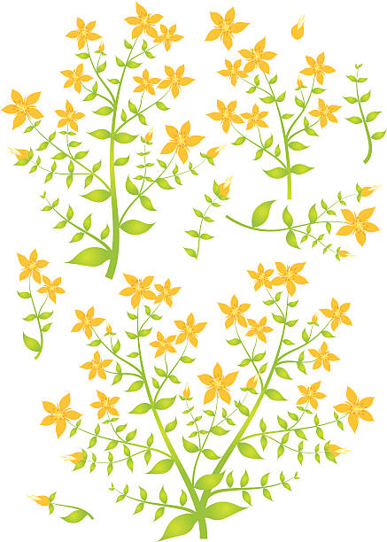 St John's Wort clipart #5, Download drawings